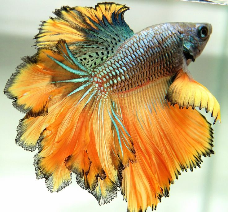 Type of Betta Fish. If you are like me and have a strong passion for freshwater aquariums, you have probably considered incorporating Betta fish to your tank. I'm sure you've heard how wonderful Bettas are and how beautiful they can be. Another reason to get a Betta fish is the freedom to choose a multitude of colors
