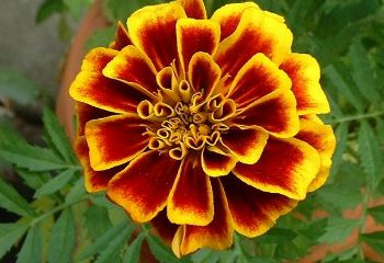 October's birth flower, the vibrant marigold, has been prized for its beauty, as well as its many useful qualities.