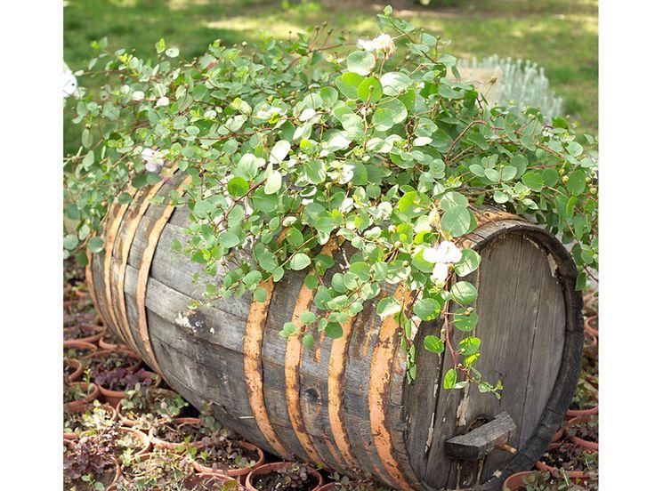Coltiva i capperi: crescono anche in vaso!
