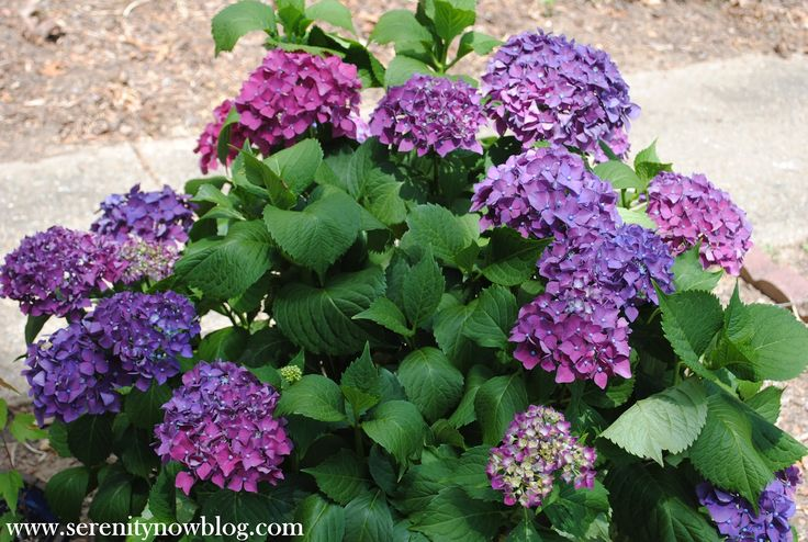 """How to Get a Hydrangea Plant to Bloom""... I got lucky this year, but I think I'll probably need help next year!"