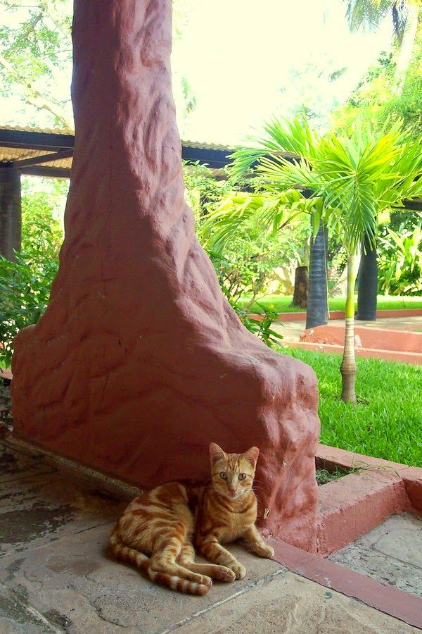 #cats #traveling - Cat from the Senegambia Hotel in Kololi, The Gambia
