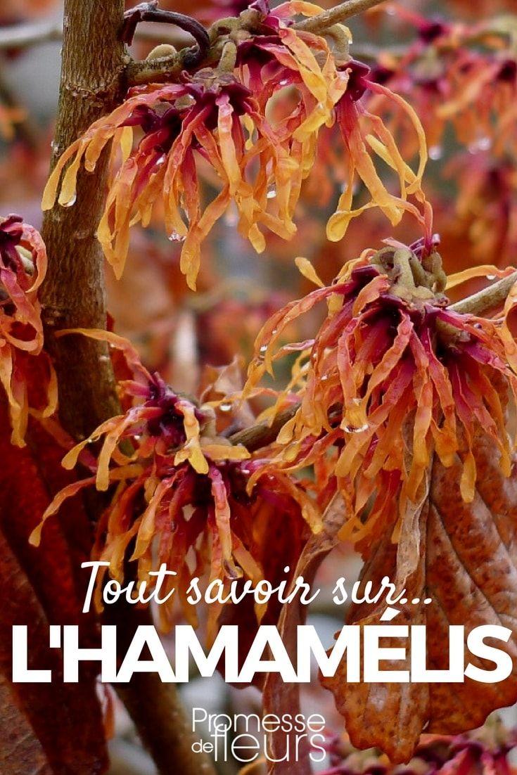 L'Hamamélis est un arbuste qui offre une sublime floraison au cœur de l'hiver. Découvrez les conseils de nos experts pour bien le planter, le cultiver, l'entretenir mais aussi l'associer au jardin ! #hamamelis #arbuste #hiver