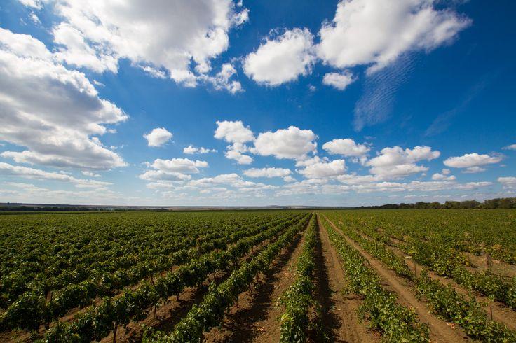 Виноградники на Таманском полуострове | Flickr - Photo Sharing!