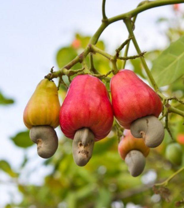 La noix de cajou est le fruit de l'anacardier. L'amande comestible pousse à l'extrémité de la pomme de cajou