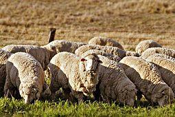 Australian merino sheep