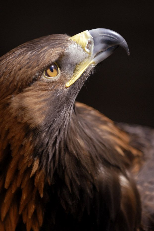 Golden Eagle by flumpo on DeviantArt - Bird of prey.