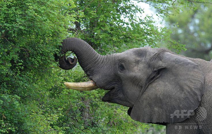 南アフリカ・ネルスプロイト(Nelspruit)近郊のクルーガー国立公園(Kruger National Park)で木の葉を食べるアフリカゾウ(2009年12月10日撮影)。(c)AFP/ALEXANDER JOE ▼23Jul2014AFP|最も嗅覚が優れた動物はゾウ?東大研究 http://www.afpbb.com/articles/-/3021261 #African_Bush_Elephant #Loxodonta_africana