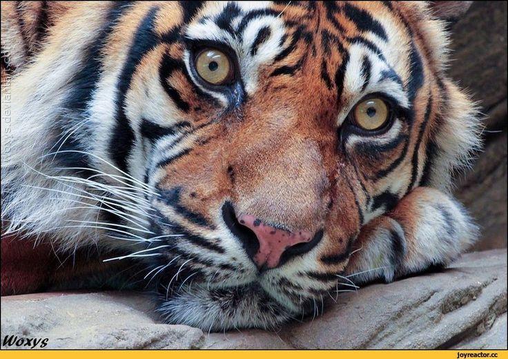 тигр,живность,фото,woxys