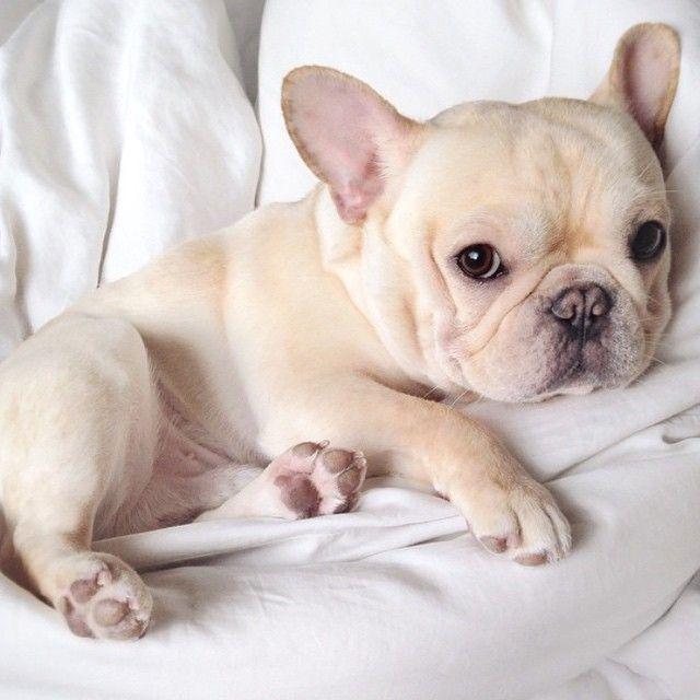 Charlles,1 ano e 2,00 meses.Bulldog Francês caramelo.NIVER 27/4