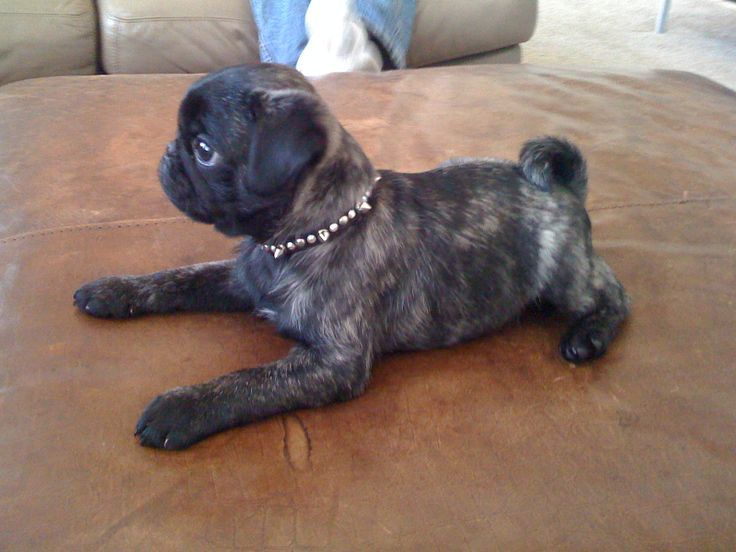 brindle pug from Gamble Pugs