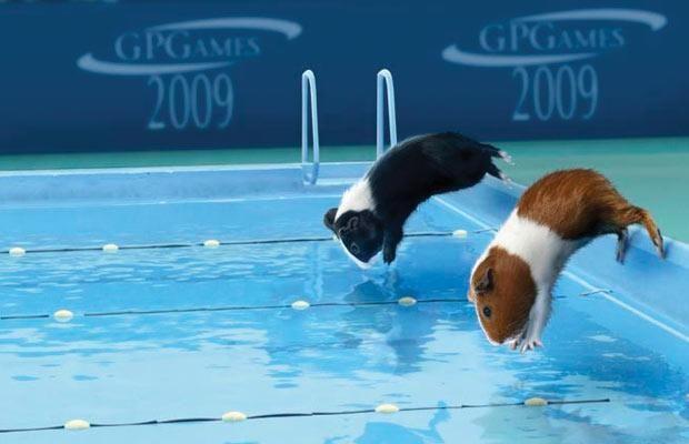 Swimming pigs! amazing!