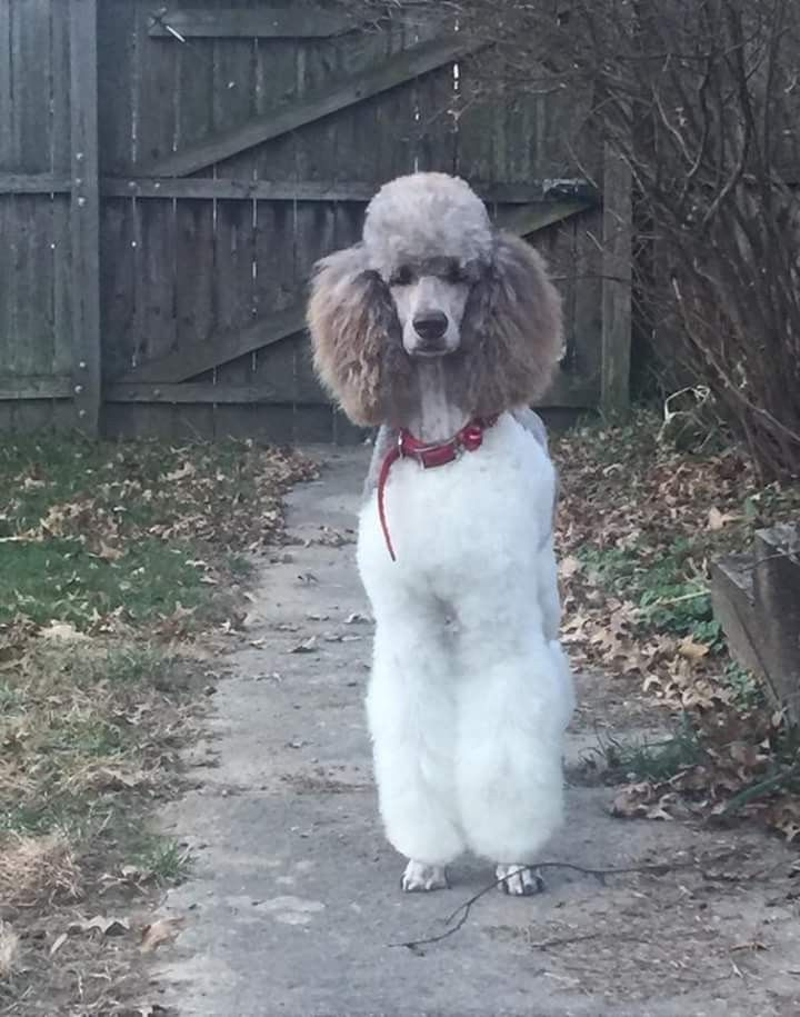 Pin By Linda Panepinto On Poodle With Images Pretty Poodles