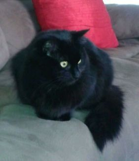 Black Cat Lost from Tumut NSW   Lost & Found   Gumtree Australia Tumut Area - Tumut   1117350175