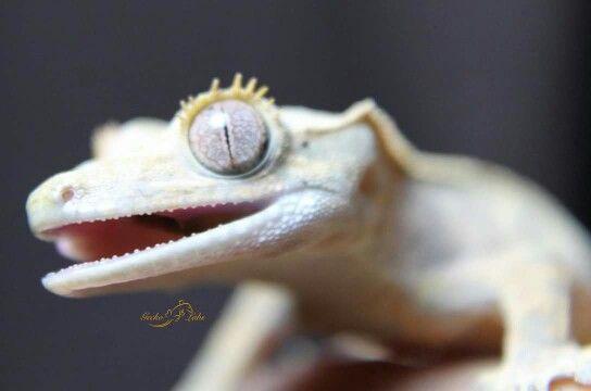 Crested Gecko Teeth   Lizards   Pinterest   Teeth, Crested ...