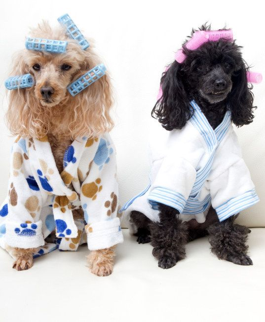 These Totally Gay Dogs In Their Pajamas And Hair Curlers