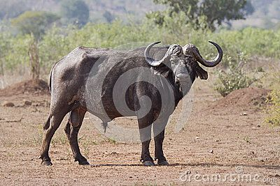 A Side view of a Cape Buffalo Bull, standing broadside, looking at the viewer intensely