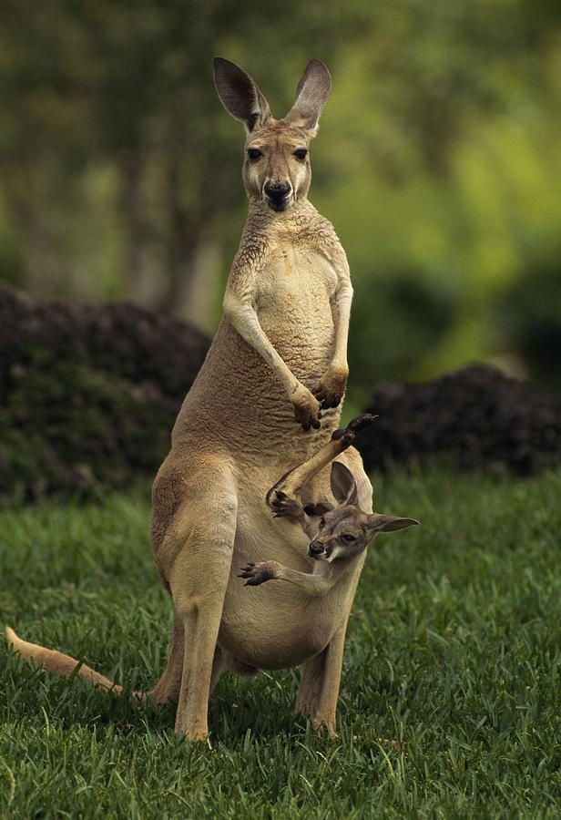 A Captive Red Kangaroo Macropus Rufus | Mom, Australia and ...