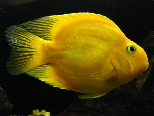 17 best images about fishes on pinterest cichlids for Parrot fish freshwater