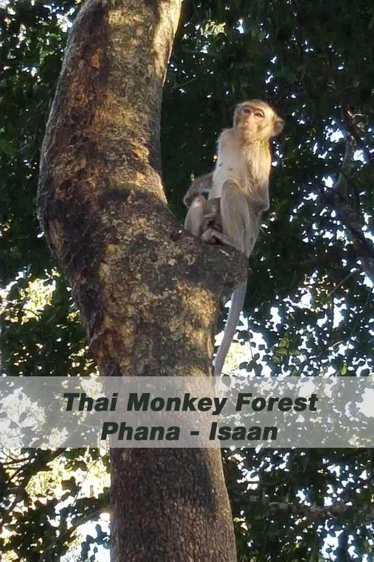The Thai Monkey Forest in Phana is considered to be a magical place. In the middle of a small forest stands a temple, the Chao Poo Shrine. Approx. 1000 macaques live in an area of half a square kilometer next to amphibians, birds, and butterflies. #travelblog #animals #Thailand