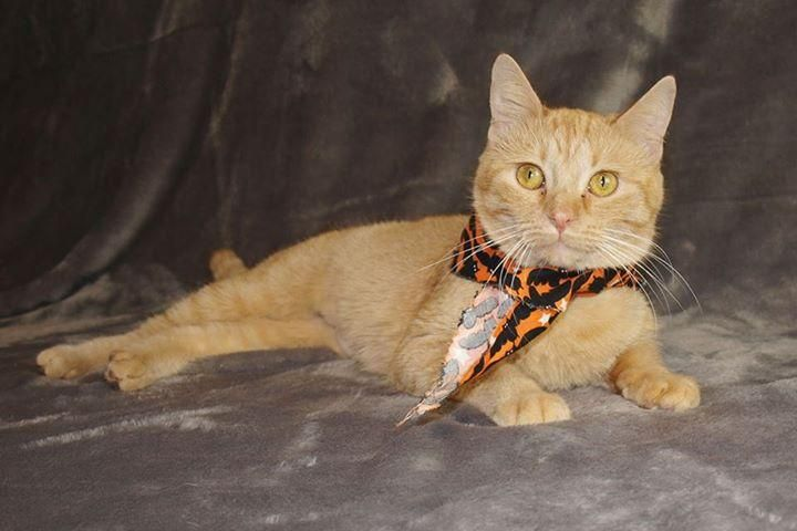Maria is an adoptable Tabby (Orange) searching for a forever family near Jackson, MS. Use Petfinder to find adoptable pets in your area.