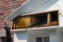 Bee Removal Stuart Florida is a process of taking out bee in Florida. It is not just merely getting rid of the . There are certain things that are required and have to be doinged this that taking out would become successful. Bee removal is the usual thing that is finished order to obtain rid of the bees.Visit our site http://www.manta.com/c/mx4h2g3/alpine-farms-bee-removal for more information on Bee Removal Stuart Florida