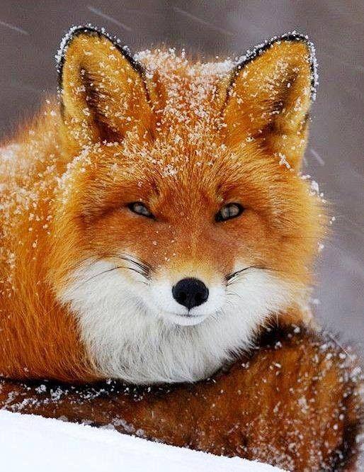 Un zorro precioso