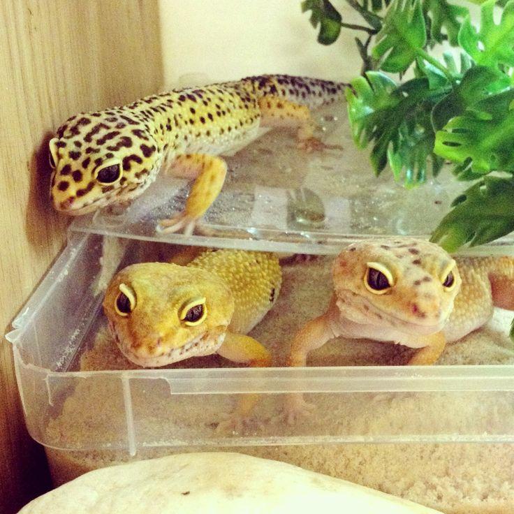 Leopard Gecko gang at Northampton Reptile Centre