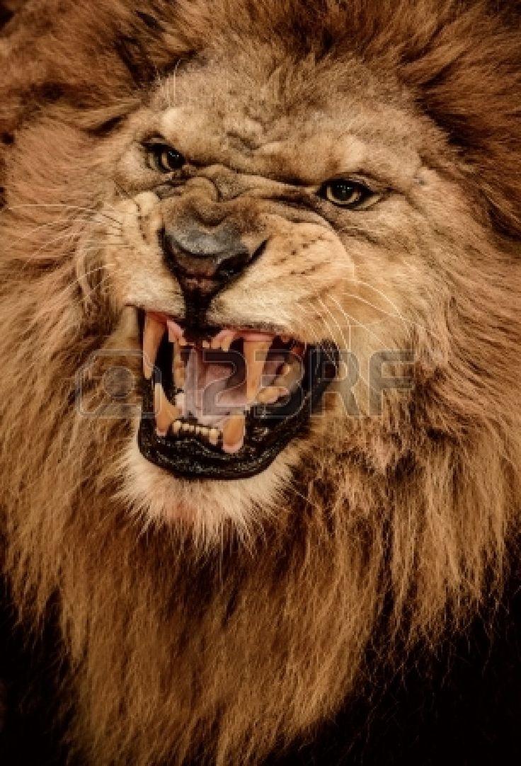 17928139 Close Up Shot Of Roaring Lion Jpg 918 215 1350
