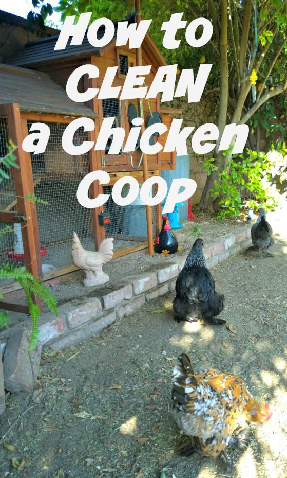 When you have a small chicken coop, but especially a small coop in a SMALL backyard, you need to keep things clean. And it's important to know how to clean a chicken coop right.: