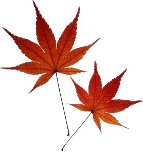 Best 10 Maple Leaf Tattoos Ideas On Pinterest Colorful