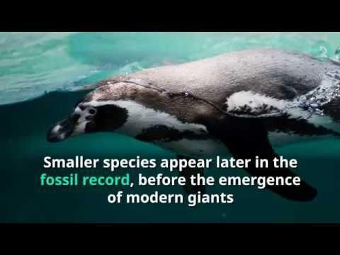 Earliest Mega Penguin Developed Human Height - YouTube