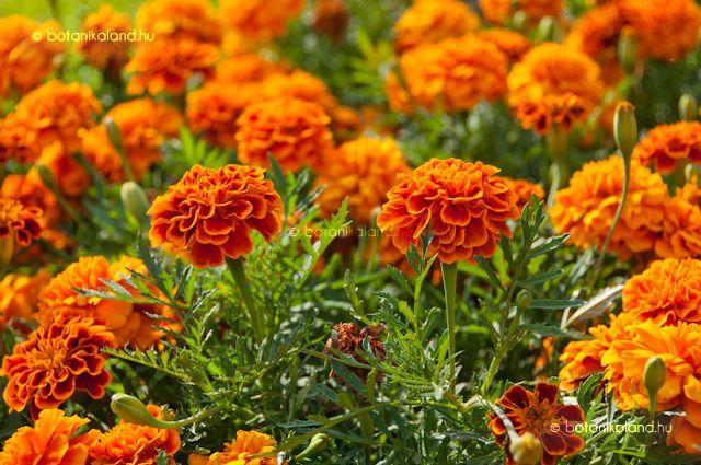 Bársonyvirág (Tagetes) gondozása, szaporítása (Büdöske)