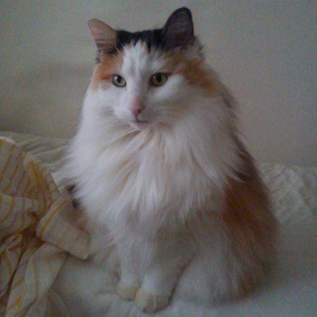 おはよーございますニャん。 今日も雨のようですニャよ☔ カーテンあけて、早くごはんくださいニャ。 * 1週間の始まりニャ~ 頑張ってこーニャ🐾 * * #ねこのいる生活 #猫と暮らす幸せ #長毛猫 #猫のいない生活なんて考えられない #猫好きさんと繋がりたい #やっぱり猫が好き #もふもふ #三毛猫 #いんすたきゃっと #にゃんすたぐらむ #ノルウェージャンフォレストキャット #愛猫 #calico #catlove #Weegie #norwegianforestcat #catstaglam #cat