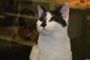 Tommy-black and white male is an adoptable Domestic Short Hair-Black And White Cat in Mchenry, IL. TOMMY is a 14 weeks old male kitten that comes with age appropriate shots, microchip, deworming, Revo...White Cat