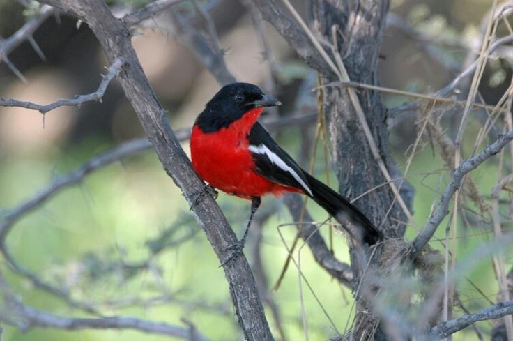 Crimson-breasted Shrike - Kgalagadi Transfrontier Park, South Africa