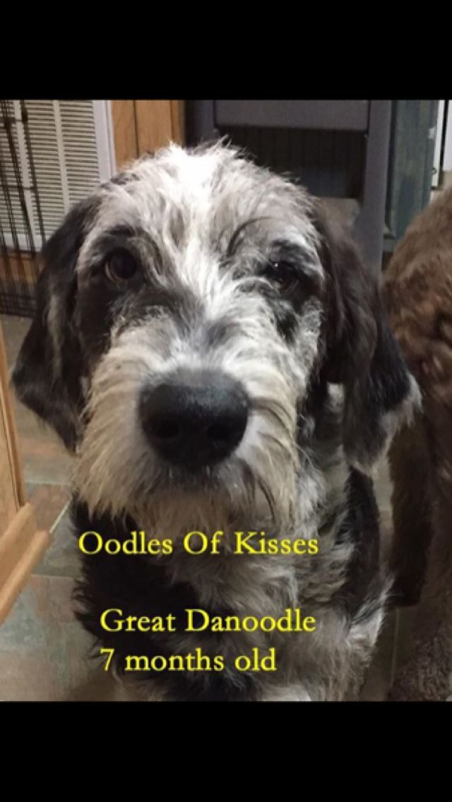 Harlequin Great Danoodle Great Dane X Standard Poodle By