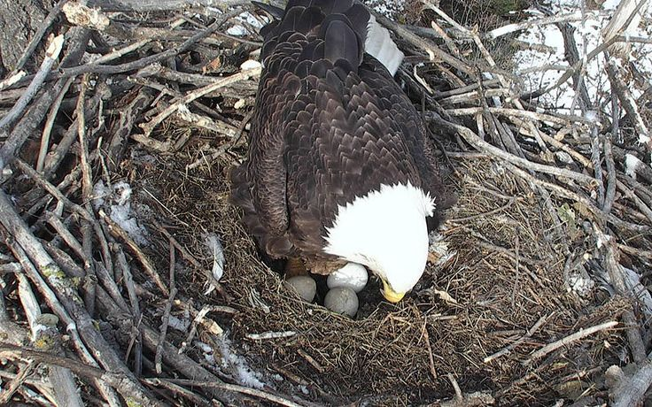 DNR EagleCam Photo Gallery Live eagle cam waiting for the hatching.