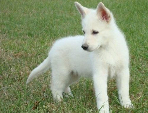 White German Shepard - too cute!