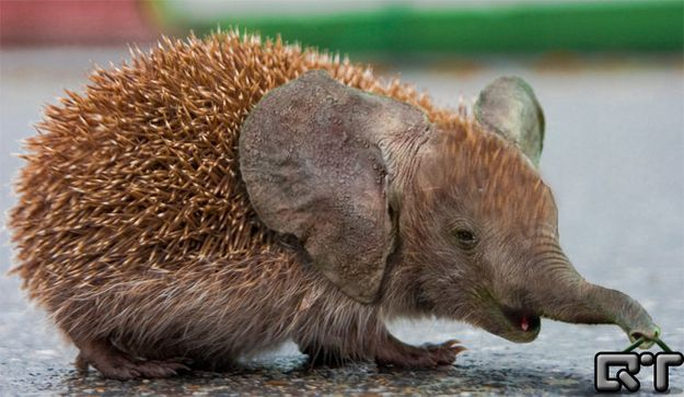 I want one. I will name him Prickle. Hedgephant. | 21 Cute But Vaguely Unsettling Animal Mashups