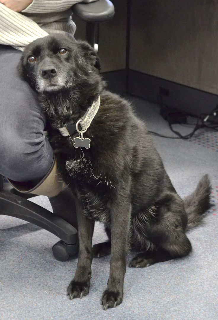 Our newest HR consultant - Jackson is a 9 year old Collie/Chow mix. She Loves to chase squirrels, off-leash walks in high park and receiving cuddles (especially belly rubs). Jackson completed the 5k Walk for CIBC Run For the Cure in 2007 - what an inspiring HR Consultant! Find out more about Intelex Family here: http://www.intelex.com/team.aspx?source=h%2b1cla%2byaKH2gBG7oq333j7XO5mbbrBX5NeAMS9qStMTTPDl1tFYo0JvEBm%2bSZ0SH8tpaJZH%2fKjNFLQ4bA0UUA%3d%3d #intelex #doggymonday #funatwork