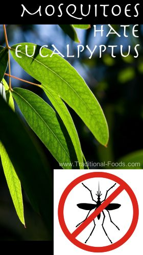 Pin this for the upcoming spring and summer!!--->Repel Mosquitoes with Eucalyptus Oil @ Traditional-Foods.com