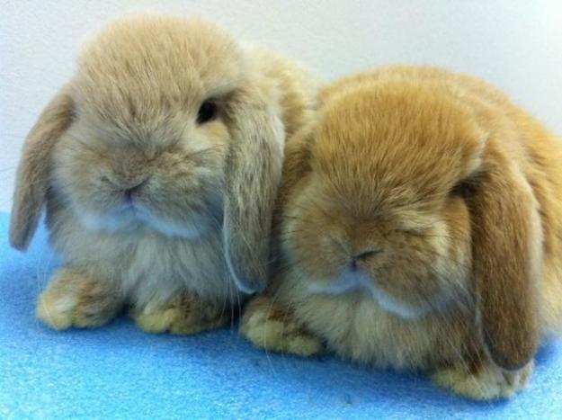 Love holland lop bunnies!