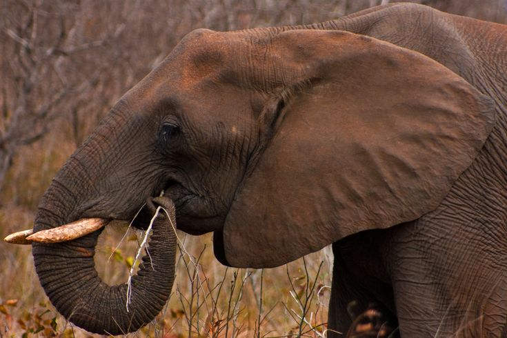 How I Use Evernote: Wild Animal, Africans Elephants, Southafrica, Wild Life, Kruger Parks, South Africa, Parks Elephants, Prehensil Trunks, Wilderness Beautiful