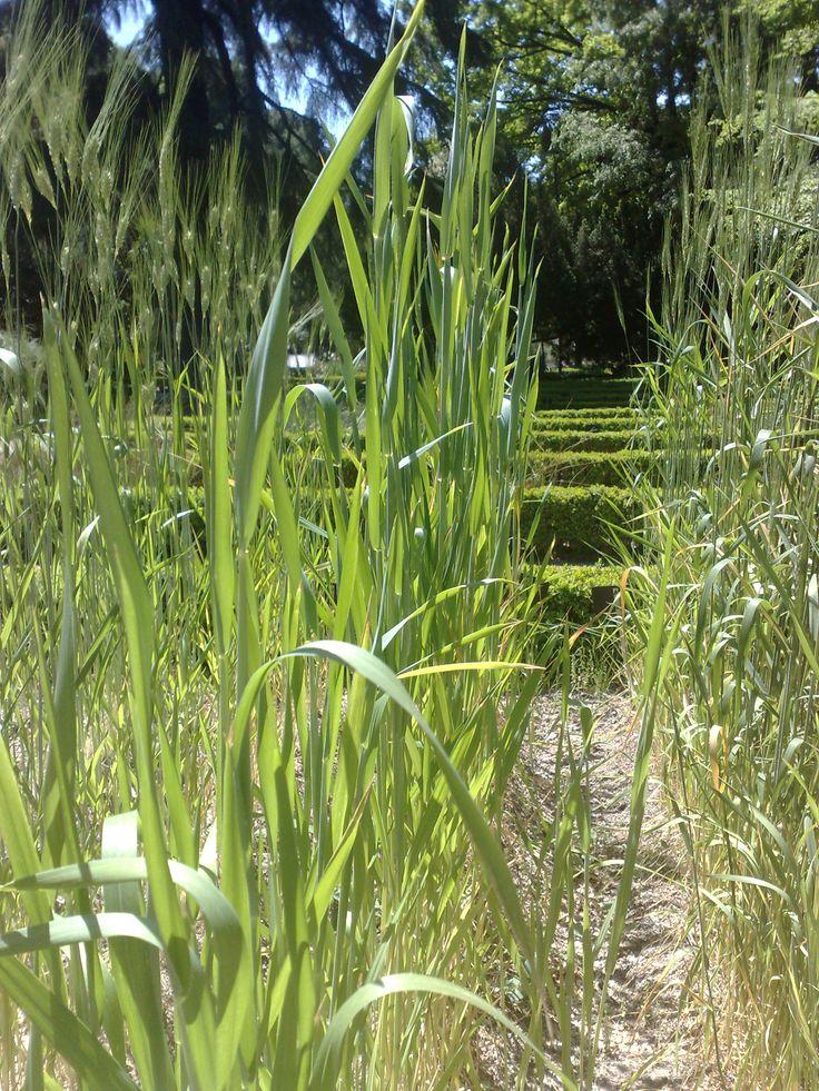 La #espelta aporta mucha #fibra y es tolerado por aquellas personas alérgicas al #trigo. http://goo.gl/oH0a9m