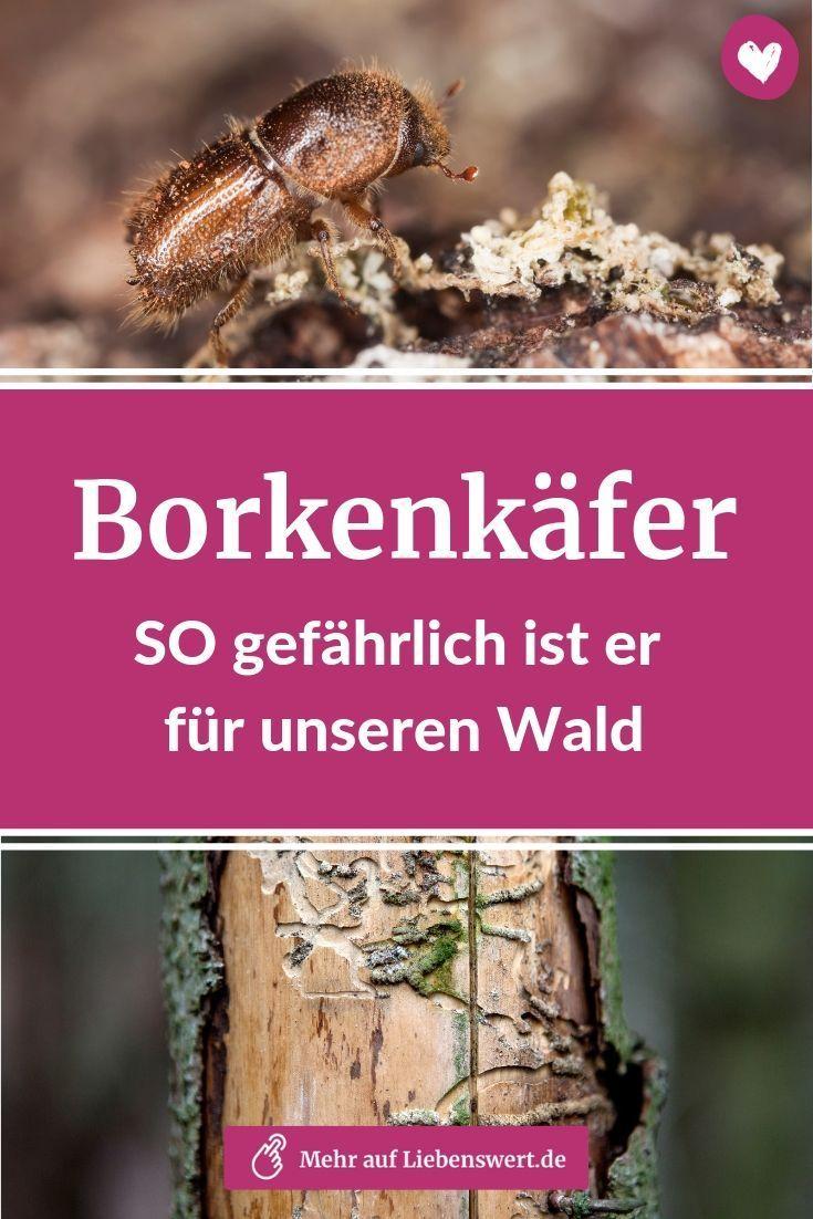 Der Borkenkaferbefall In Unseren Waldern Hat Nach Dem Heissen Sommer 2018 Nochmals Zugenommen Warum Der Kafer So Sch Buchsbaumzunsler Wald Schadlinge