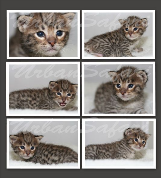 Savannah kittens for sale | Urban Safari