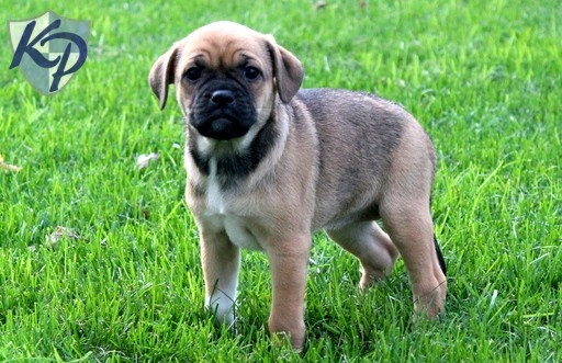 Kylie – Jug Puppies for Sale in PA | Keystone Puppies