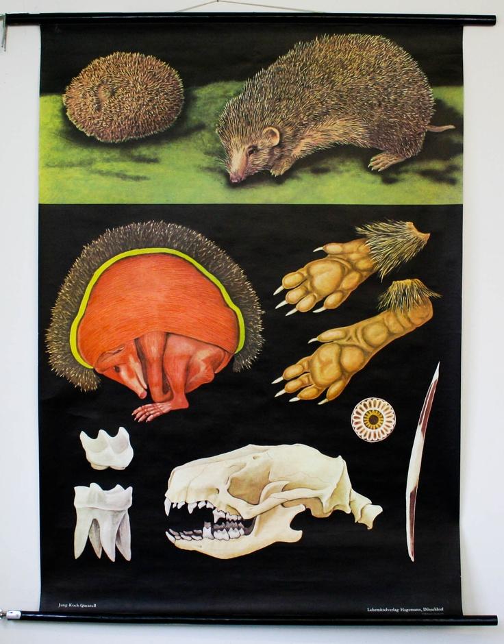 10 best anatomie du herisson images on Pinterest | Anatomie ...