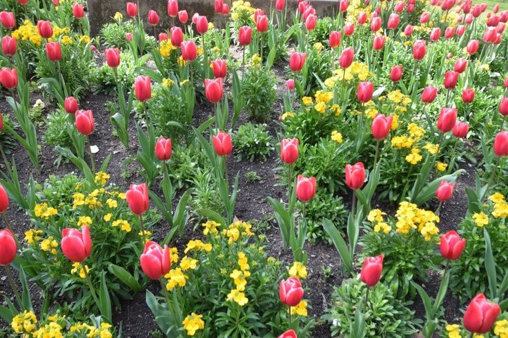 Luxembourg Garden tulip flower