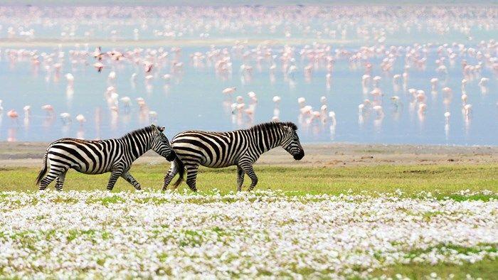 Flamingoer og sebraer kan oppleves på safari i Serengeti, Tanzania #travel #safari #tanzania http://travels.kilroy.no/destinasjoner/afrika/tanzania/safari